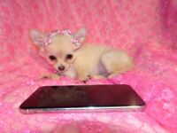 XXXXXS Micro Tiny KC Registered Cream Longhaired Chihuahua Girl Puppy