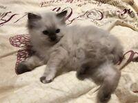 ***NOW RESERVED***Stunning Seal Point Ragdoll Kitten Girl