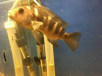 Two adult bumble bee Malawi cichlids