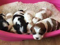 Beautiful Cavishion puppies