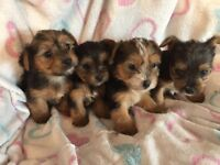 Yorkshire terrier puppies *** READY SOON ***
