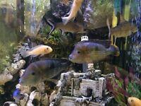 Range of tropical fish for sale: cichlids, south american convict, pakistani loach, pleco's, catfish