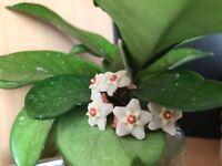 Various Indoor Hoya Plants
