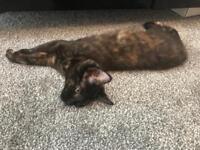 Maine Coon Kitten (female)