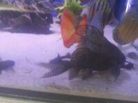 Large featherfin catfish