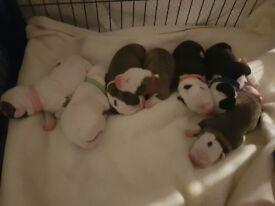American bulldog pups johnson type for sale