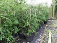 Leylandii 3 ft plus hedging plants in green. Good Quality. Ready now to plant --free delivery