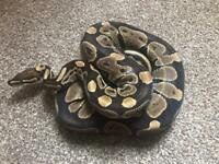 Male Adult Royal Python