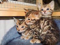 <> Amazing Bengal kittens <>
