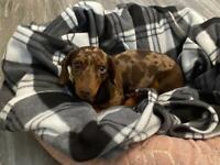 Kc reg chocolate dapple dachshund girl 9months