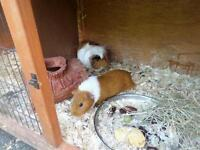 Guinea Pigs for sale with hutch and cage