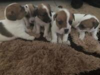 Jack-Russell Puppies