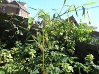 6 Garden Plants Inc Tall Bamboo, Yucca, Rhus, Fuscia, Hypercurium Weymouth