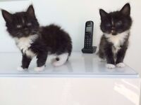 *** 2 STUNNING FLUFFY PERSIAN CROSS GIRL KITTENS ***
