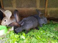 beautiful bunnies for sale - £20 each