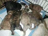 English Bulldog Puppys Ready 12/12/17