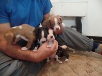 Boston beagle pups 8 weeks old ready now