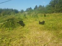 minature labradooles pups