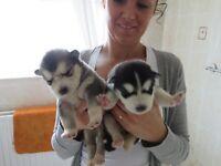 alaskan malamute cross husky puppies