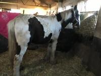 Amazing yearling cob colt to make 16h