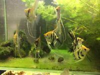 Young Zebra Angel fish and Koi Angelfish for sale £3