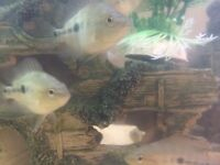 tropical Juvenile cichlid fish for sale for fish tank aquarium wembley kofh