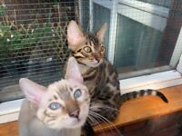 Snow bengal & Spotted Brown Bengal Kittens