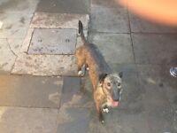 Wheaton greyhound lurcher