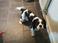 Male Cavalier King Charles spaniel for sale