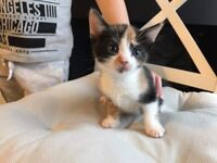 Playful female kitten trained wormed eats dry & wet food ready to go
