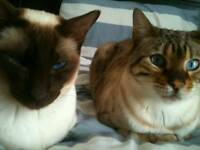 Bengal and Siamese cats