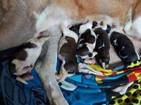 Giant Rough Coated Saint Bernard Puppies