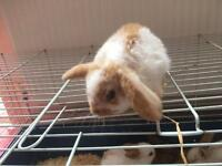 12 mini lop babies for sale 8 weeks old £30 each