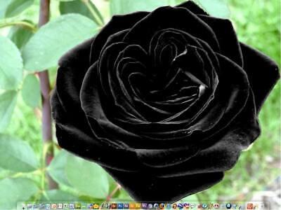 20+ TURKISH BLACK Rose Bush Seeds ,, Beautiful ,, USA SELLER  SHIPS FREE