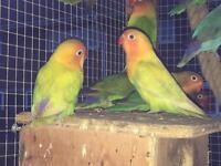 3 fischer lovebirds £30 each