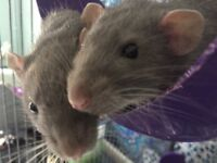 we are selling our three gorgeous dumbo rats, they are all boys 10 weeks old,