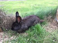Continental Giant Rabbits for Sale