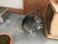 Chinchilla, Cage and Accesories