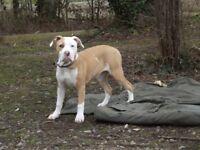 American Bulldog x Alapaha Blue Blood Bulldog
