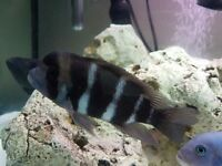 FRONTOSA PAIR FOR SALE