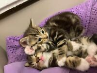 2 tabby kittens for sale