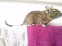 3 Degus with Cage, Sand, food and accessories to a Good Home