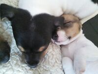 Gorgous Jack Russell cross Jack Russell/English Bull Terrier puppy's