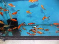Koi Carp & Variuos Goldfish for sale