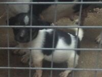 Pure miniature jack Russell puppies ready now