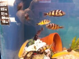 Obliquidens african cichlids forsale