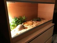 2 Corn snakes with Viv and everything needed