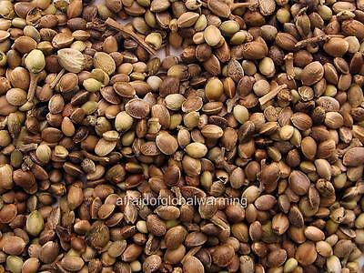 Photo. 2000s. Marijuana Seeds
