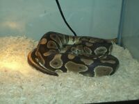 3 foot tank python