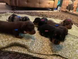 Miniature dachshund sausage dogs